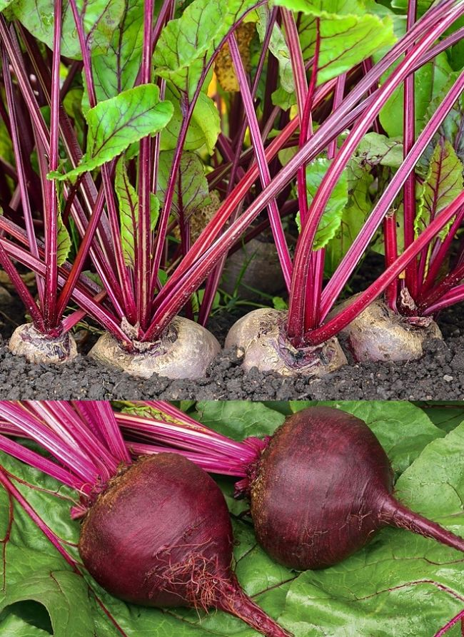 Planting And Growing Guide For Beetroot Beta Vulgaris Also Known As Beets In Home Gardens