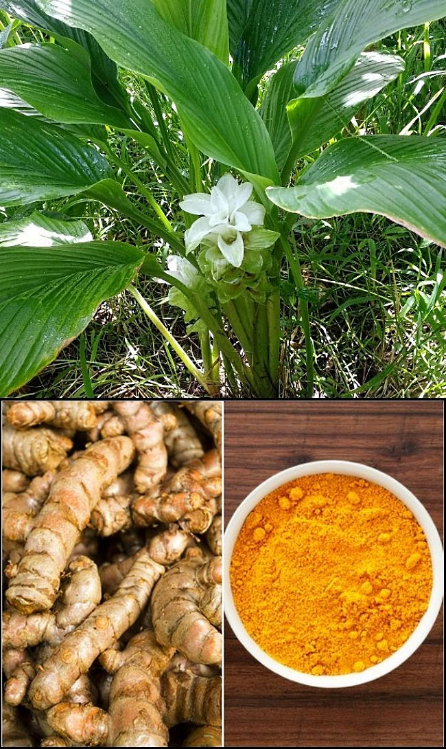 Planting And Growing Guide For Turmeric  Tumeric   Curcuma